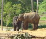 Elephant-orphelinat-Sri-Lanka