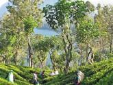 Plantation de thé à Nuwara Eliya - Sri Lanka