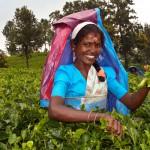 Nuwara-Eliya-plantation-de-thé-femme-cueillette
