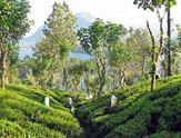 plantation-thé-Sri-Lanka