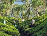 Plantation de thé Nuwara Eliya - Sri Lanka