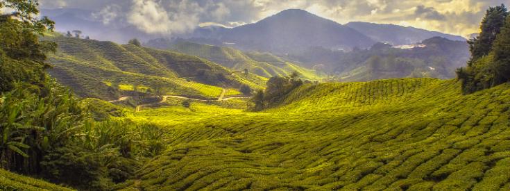 Plantation de thé Sri Lanka